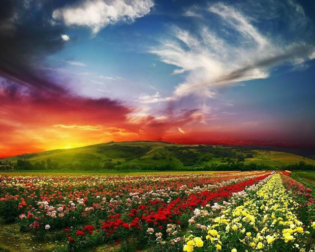 Below, a photo of Rose valley near Kazanlak, Bulgaria