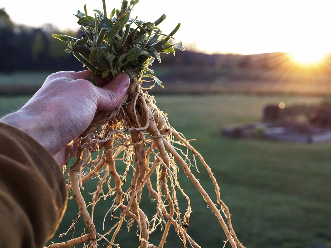a man's hand holding up ashwagandha root at sunset with the leaves still attached