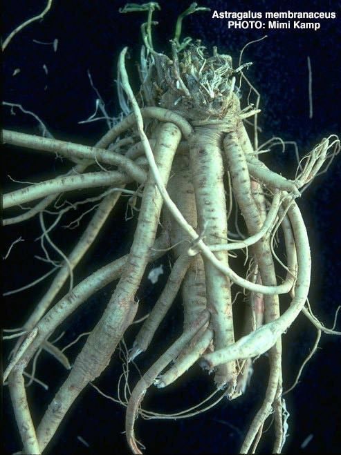 photo of astragalus root raw