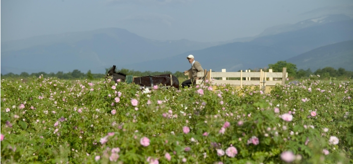 Photo of Alteya Organic Rose Farmer in Kazanlak