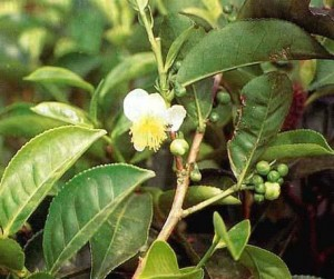 the suma plant while flowering